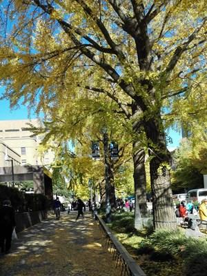 2015日本大通りイチョウ2